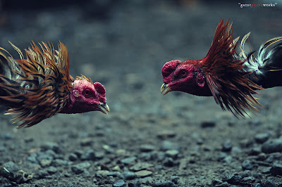 adu-ayam